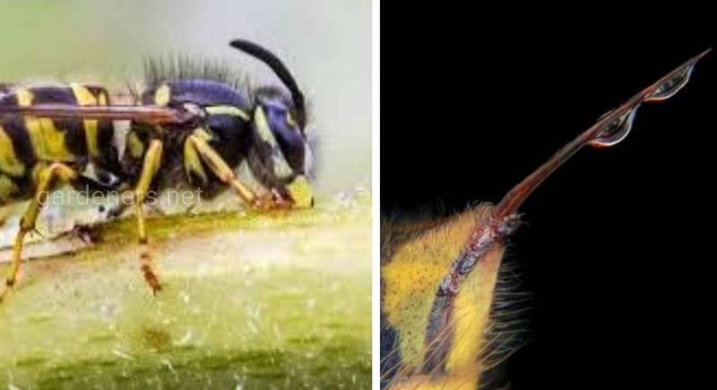 Ужаление осы и дейтвие осиного яда