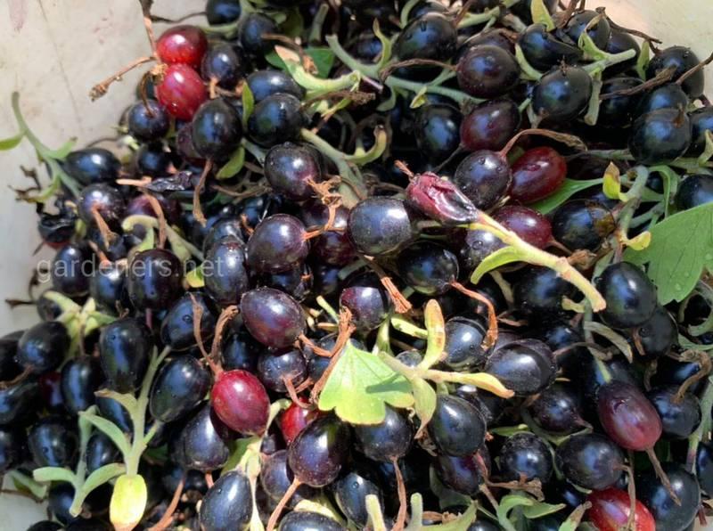 Домашнее вино из смородины: три лучших рецепта