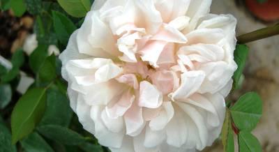 роза чайная.jpg