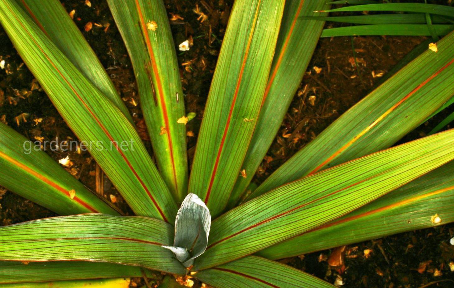 кордилина в саду.jpg