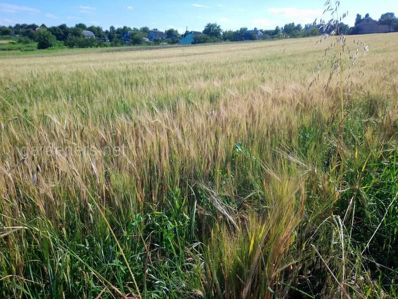 Як контролювати жовту карліковість пшениці?