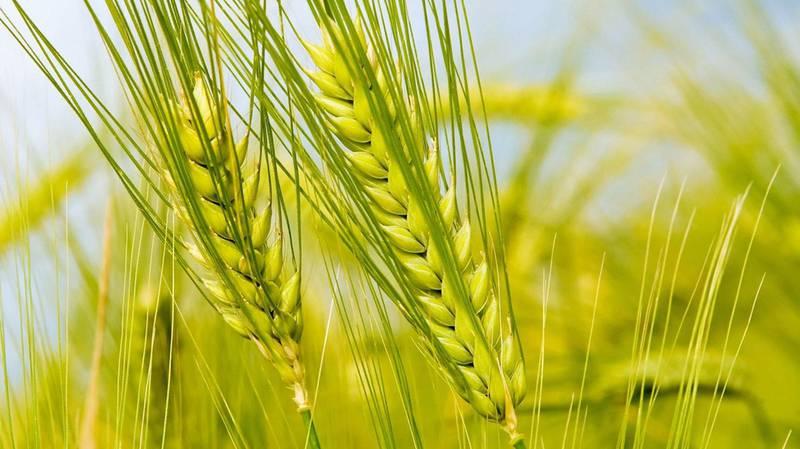 Осенний контроль сорняков на плантациях зерновых культур