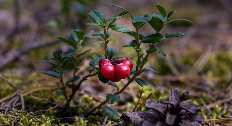 cranberries-2907901_1920.jpg