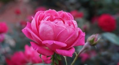 роза.jpg