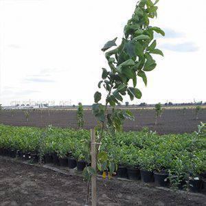 саджанців волоського горіха із закритою кореневою системою