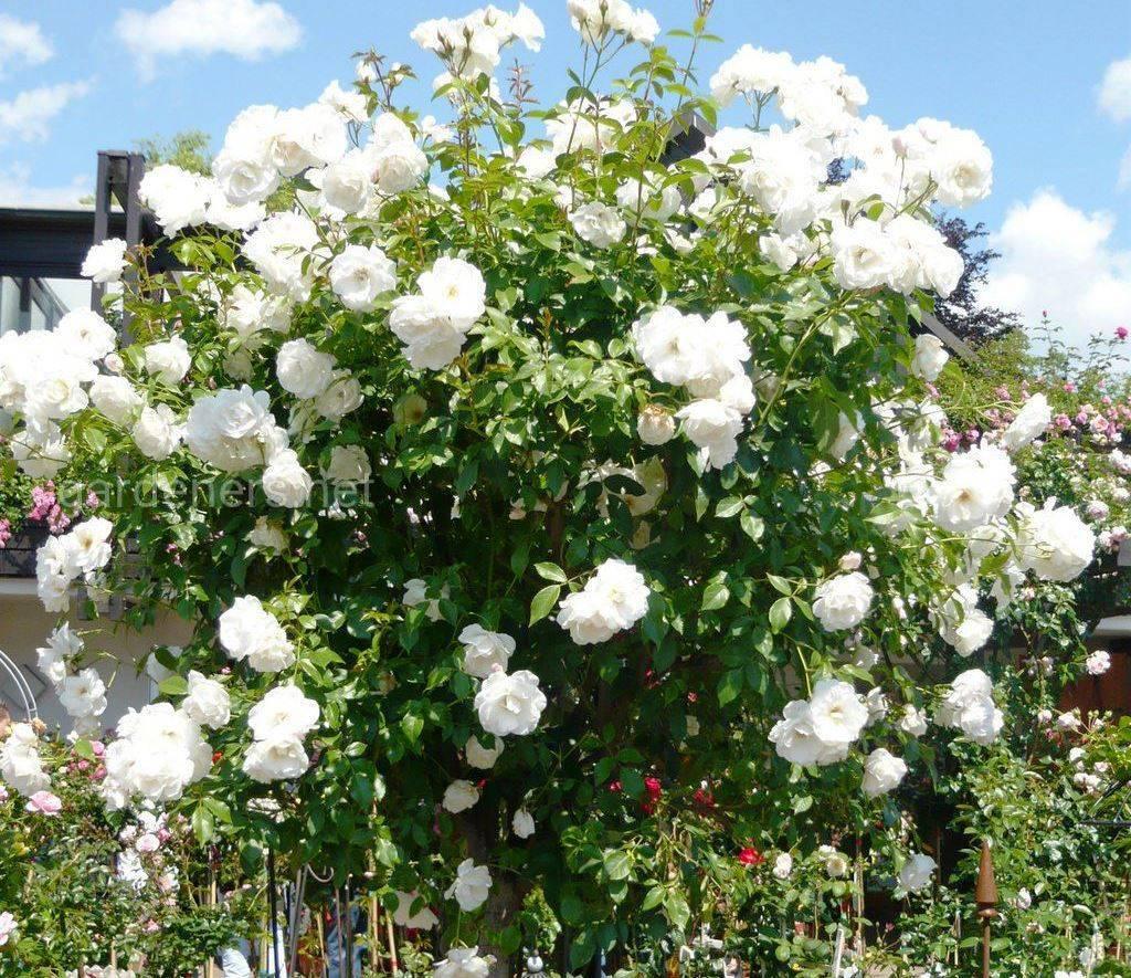 Сорт штамбовой розы Шнеевитхен