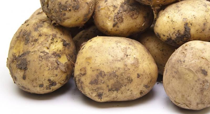 Сорта картофеля. Лучшие ранние сорта картошки
