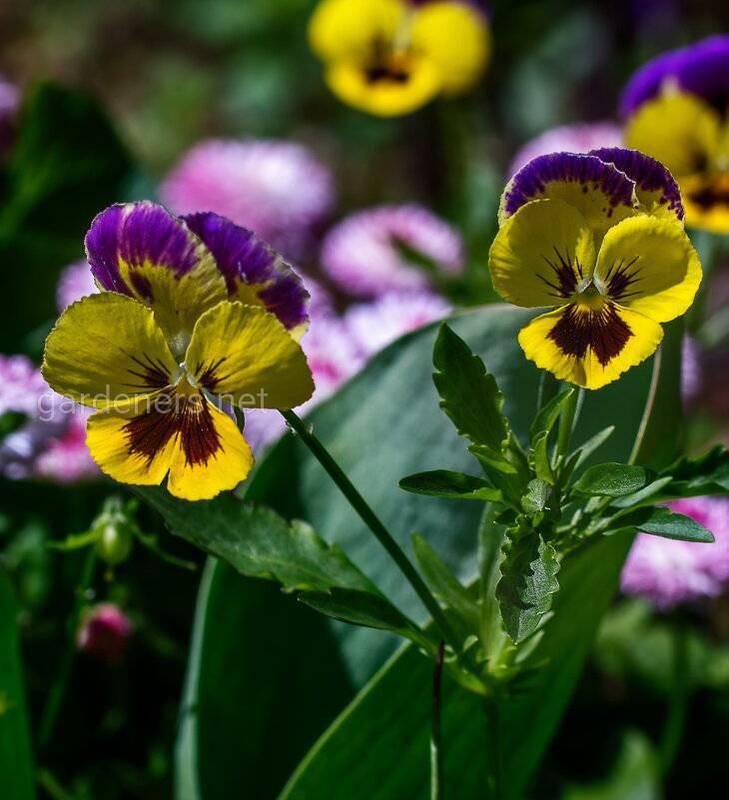 Как продлить цветение и защитить от болезней анютины глазки?