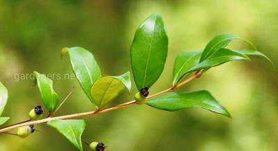 Выращиваем миртовое дерево в условиях квартиры. Забота о райском кусте в зависимости от времени года