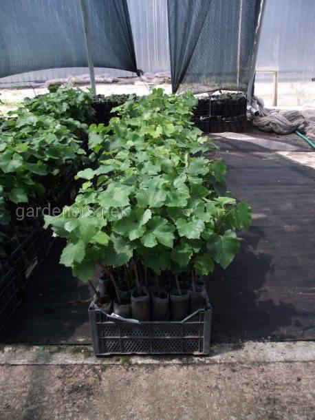 Контейнерна культура в виноградному розсадництві