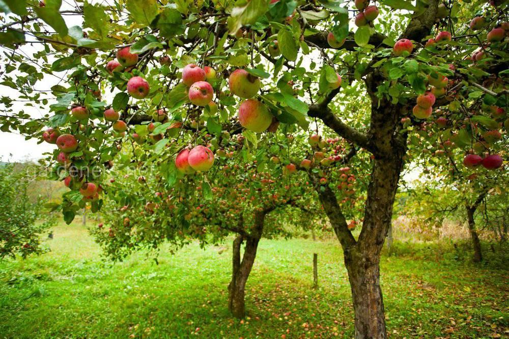 Как совмещать плодовые деревья