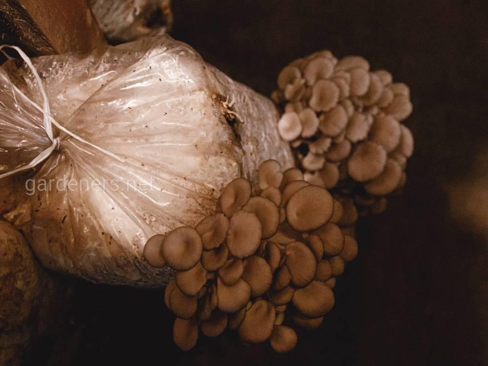 Як вирощують гливи у промислових об'ємах: всесвіт глив