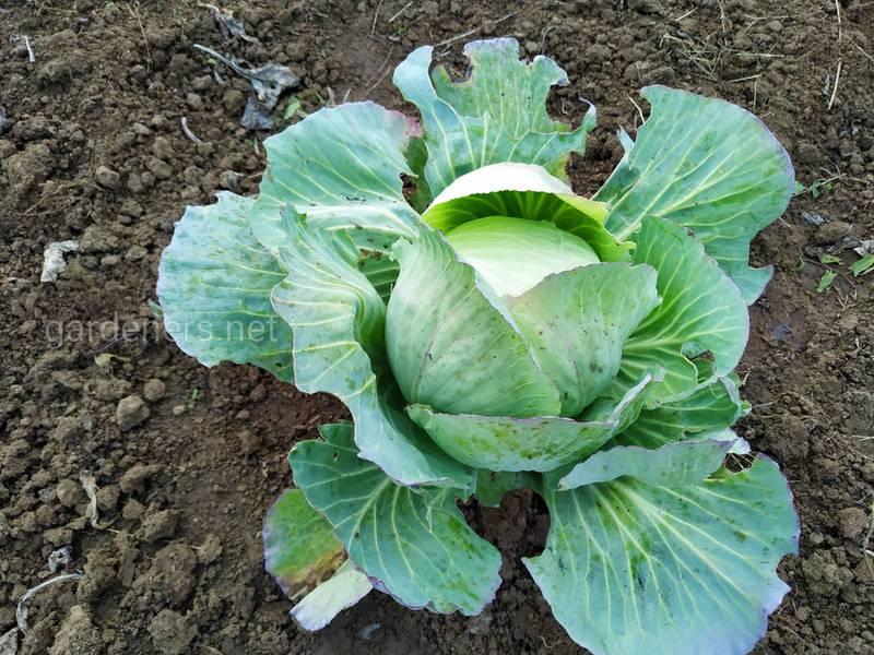 Как подавить капустного галлового скрытнохоботника?