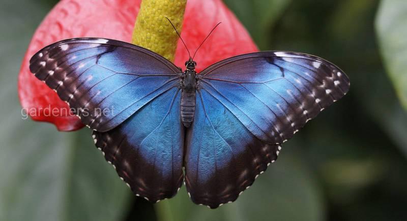 Як залучити метеликів на свою ділянку