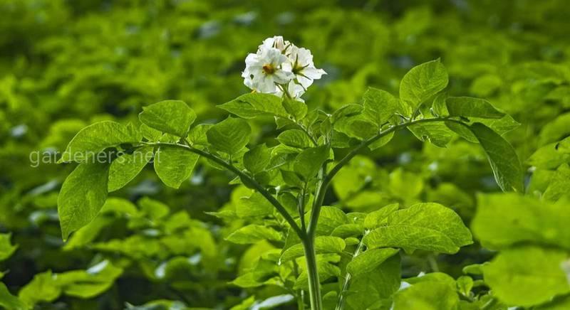 Биопрепаратами защищать картофель эффективнее
