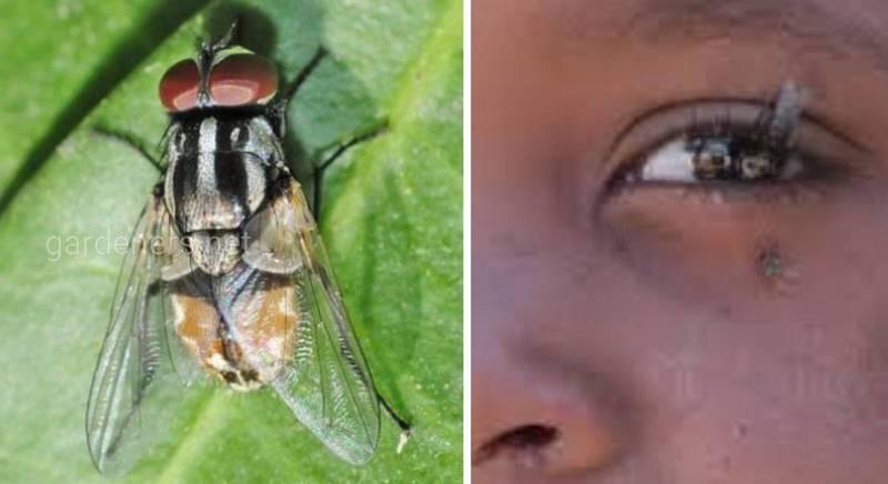 Базарная муха - переносчик глазных и кишечных инфекций