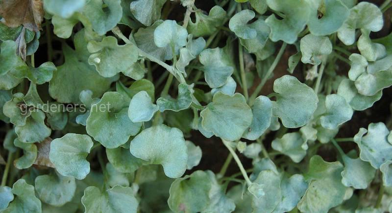 Діхондра: види і сорти вишуканої і красивої декоративної ампельної рослини