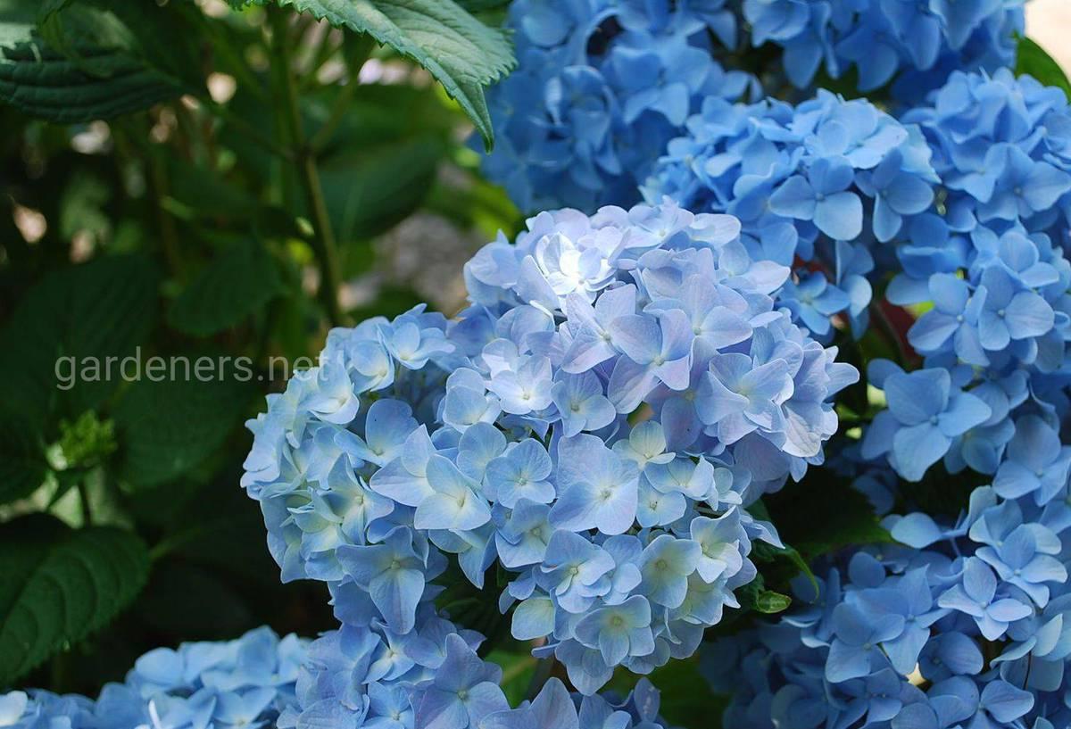 Сорт гортензии Nikko Blue