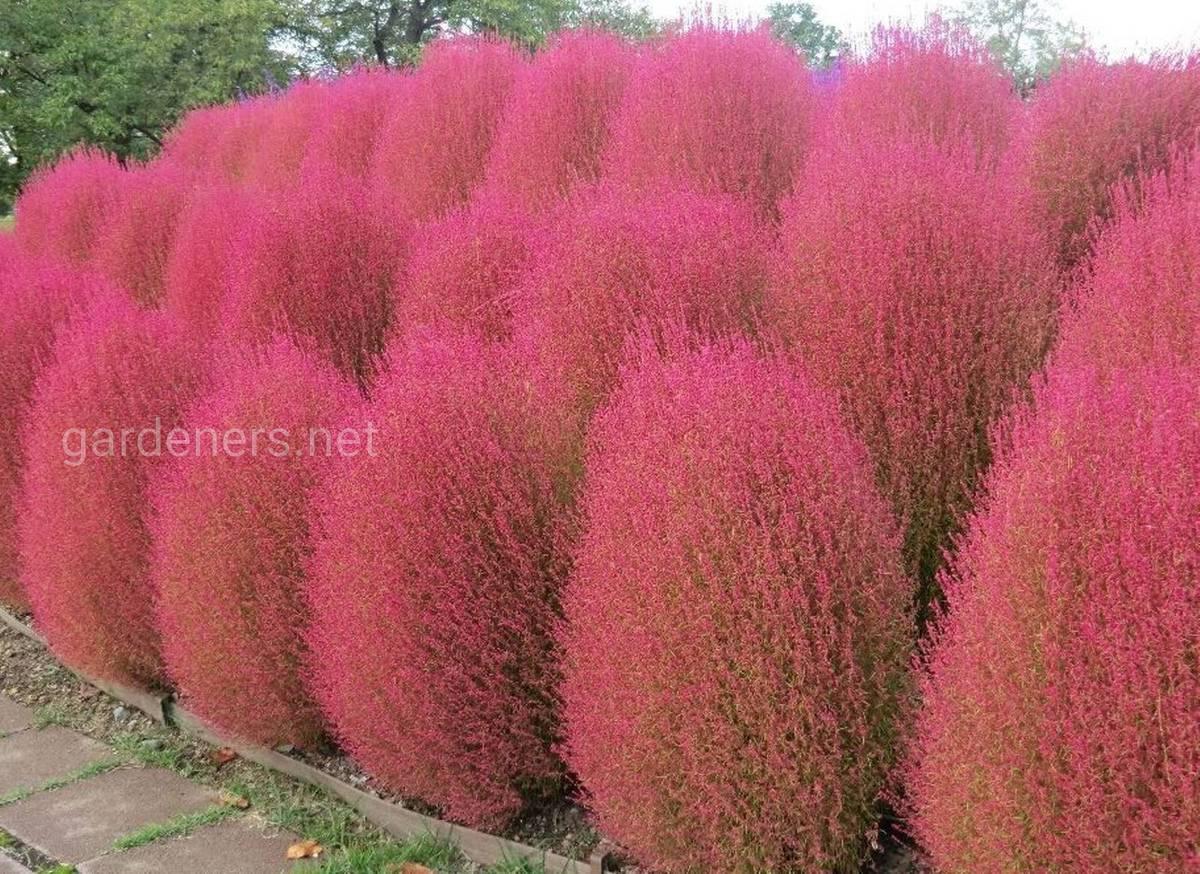 кохия розовая