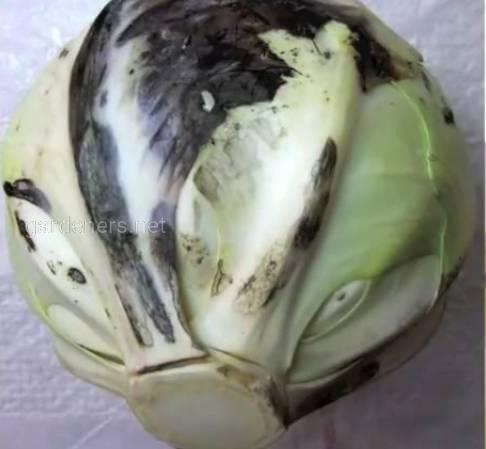Бактериоз капусты