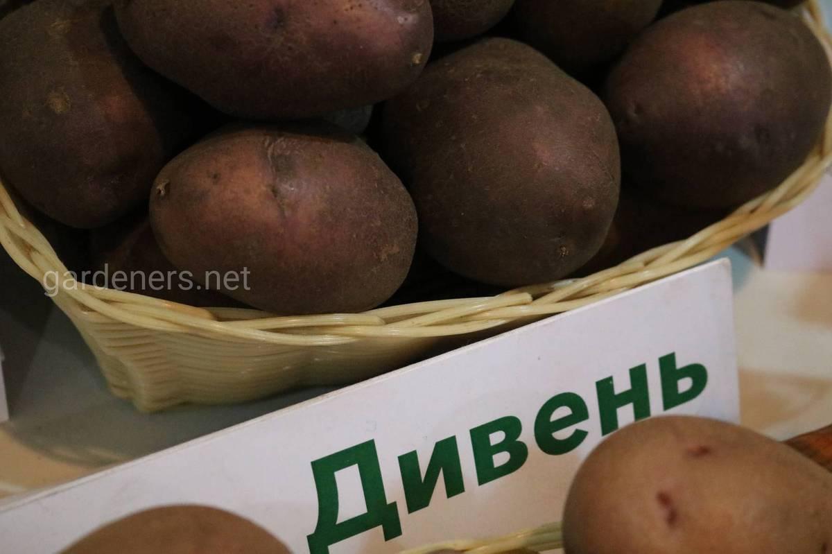 Сорт картоплі Дивень