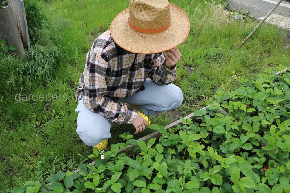 дні для посадки і пересадки полуниці