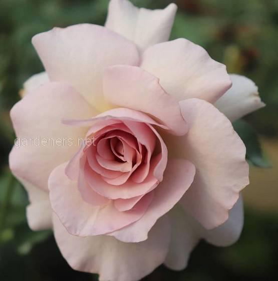 Saphiret rose