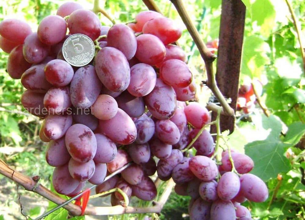 Виноград «Рожевий мускат»