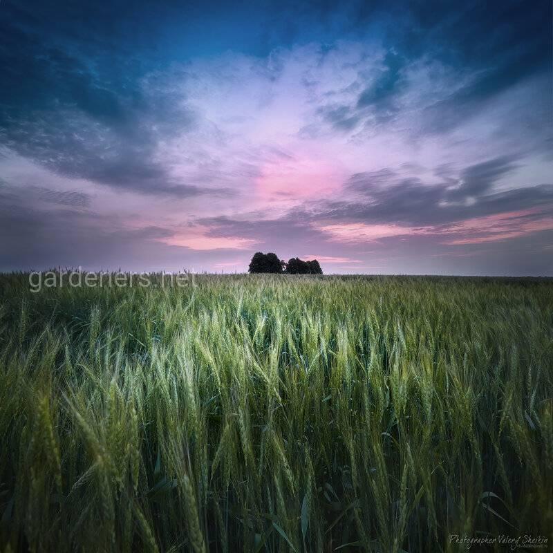 Как правильно вносить и какие удобрения использовать при подкормке озимой пшеницы?