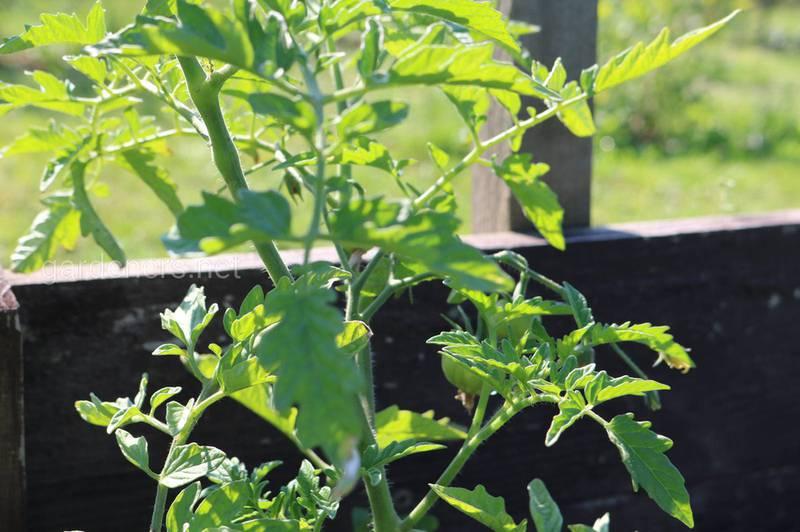 Як посадити та доглядати за помідорами після посадки?