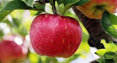 ТОП-5 лучших сортов яблок для сидра: особенности создания сидра в домашних условиях