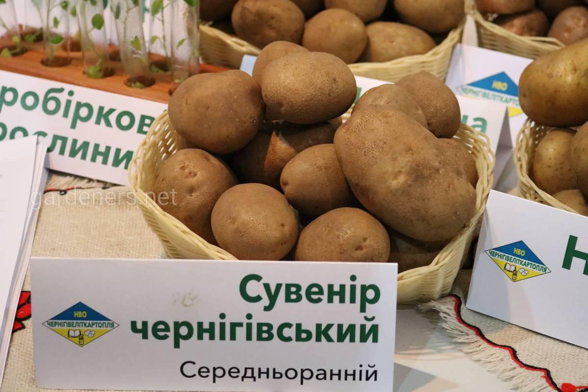 сорт картоплі Сувенір Чернігівський