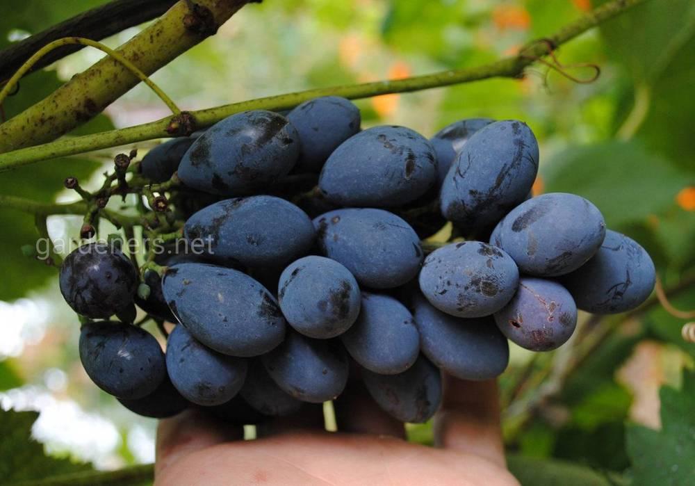 сорт винограда Блэк Гранд