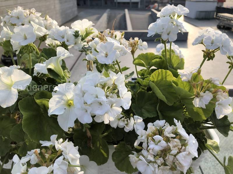 Корисні властивості рослин з цитрусовим ароматом! Як вирощувати пеларгонію, чубушник вінцевий та китайський жасмин?