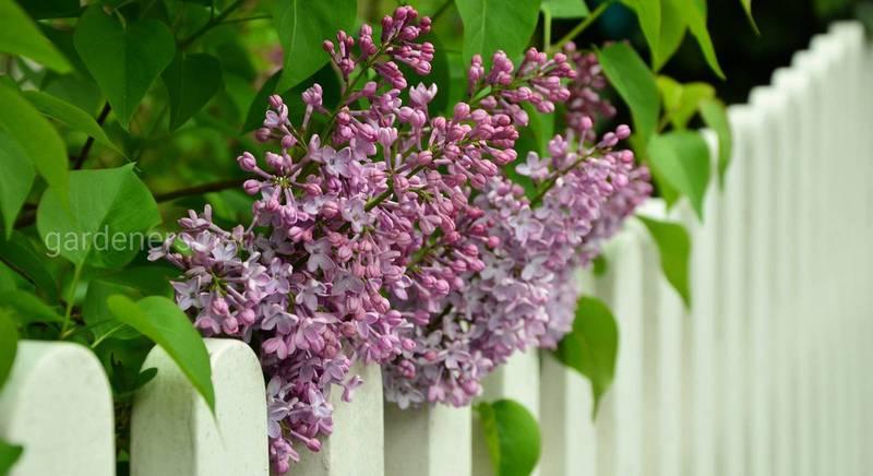 Які рослини висадити уздовж паркану