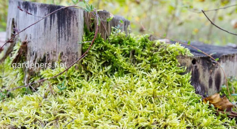 Полезные свойства и лечебное применение мха сфагнума (Sphagnum)