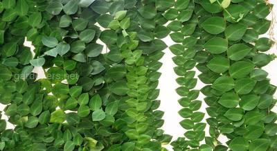 Условия выращивания и виды рафидофоры