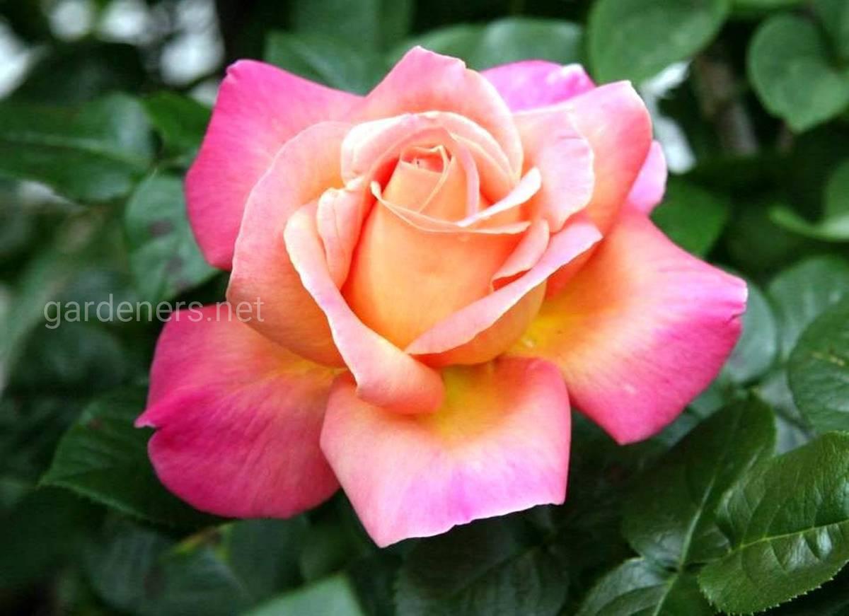 Сорта роз Peace