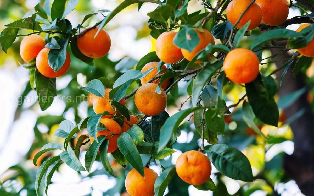 мандарин в саду