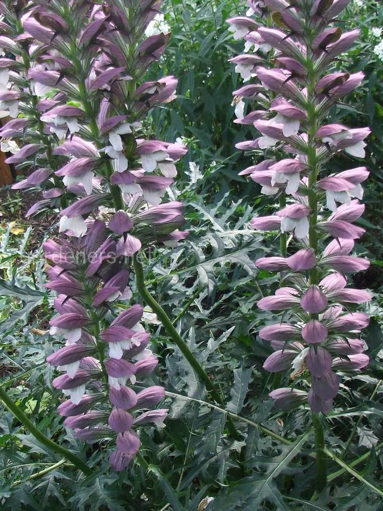Acanthus spinosus Royal Haughty