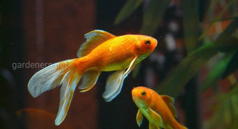 Як доглядати за золотими рибками