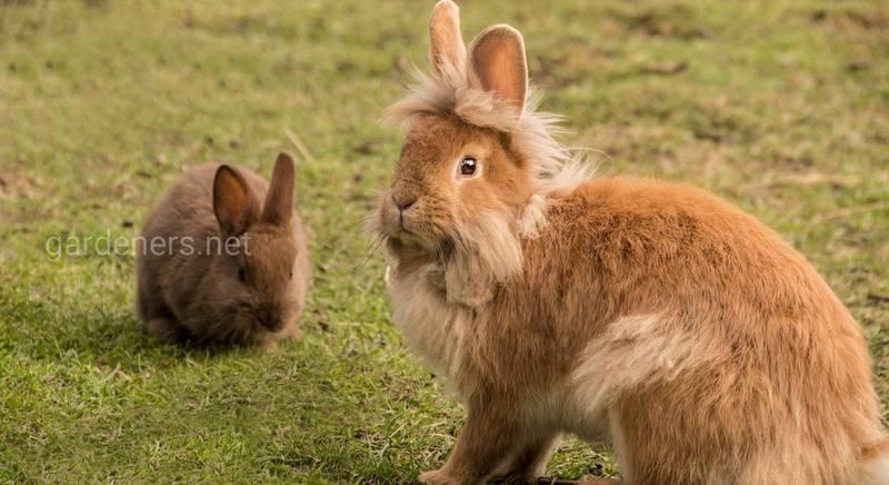 Советы опытных животноводов: когда отсаживать крольчат от крольчихи