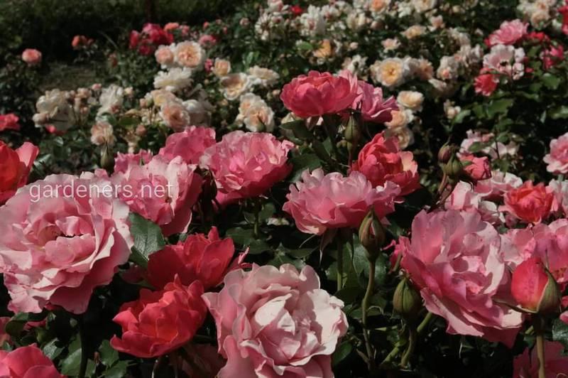 Використання касторової олії для поліпшення цвітіння троянд