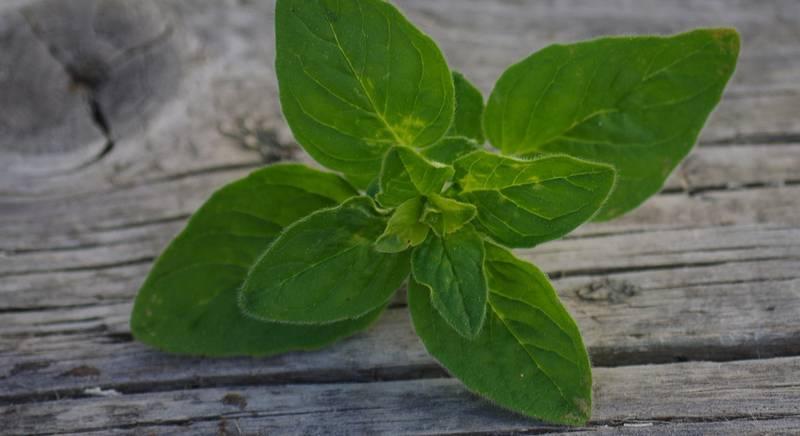 В чем польза ароматной пряности душицы?