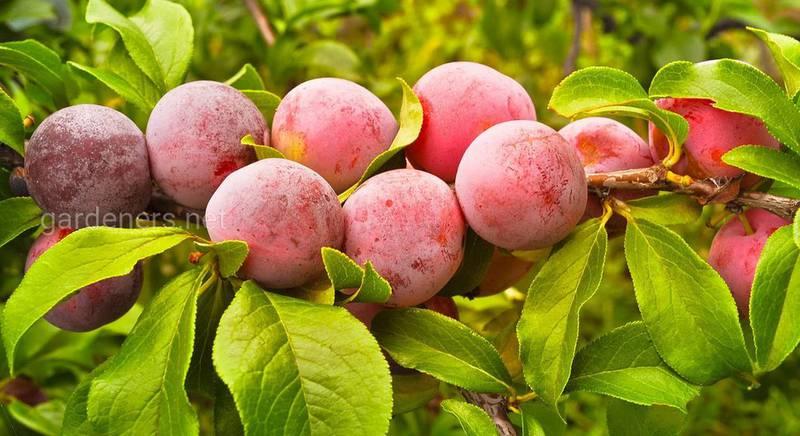 Августовская обработка сада: как защитить деревья и кустарники от болезней и вредителей