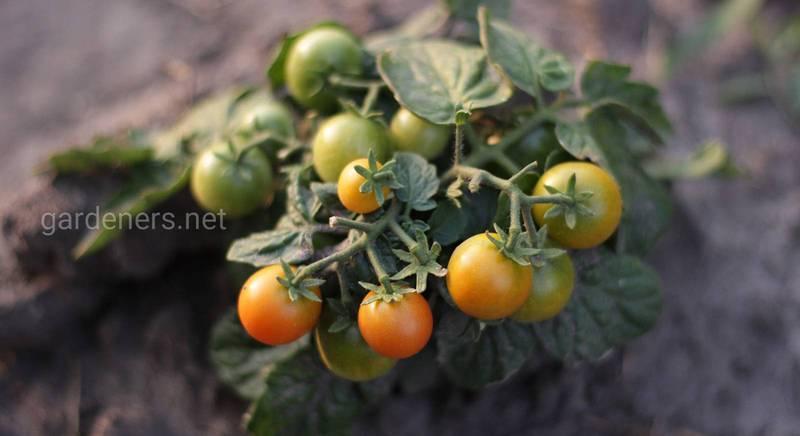 Що не так з томатами: 11 найпоширеніших помилок при вирощуванні