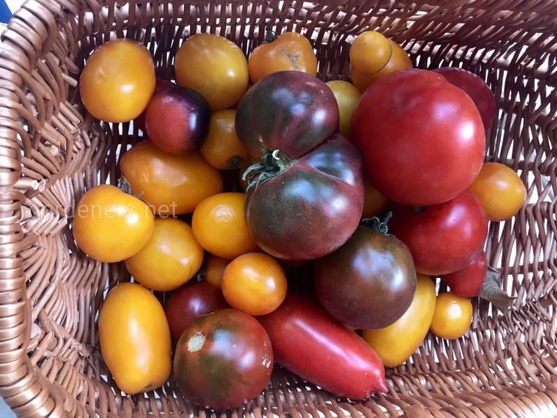 Секреты раннего урожая томатов