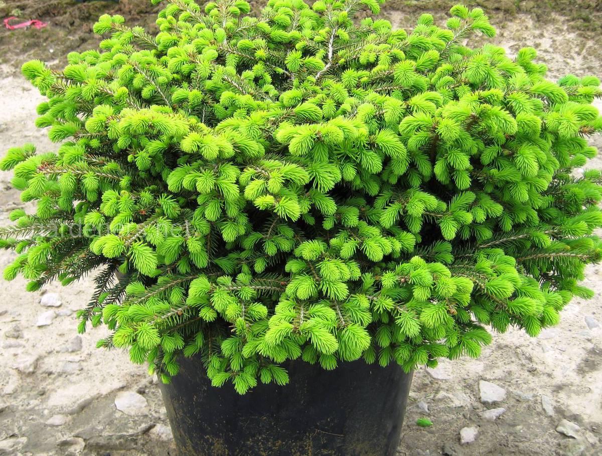 Сорт елки Nidiformis