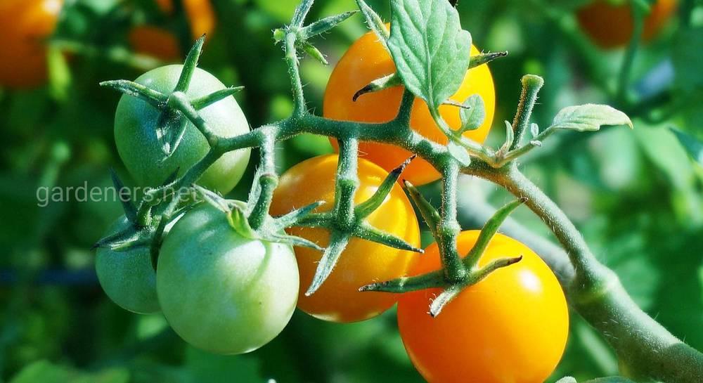 как подвязывать томаты.jpg