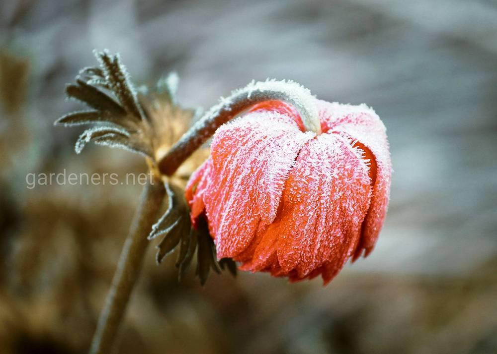 Как укрывать растения при отсутствии снега